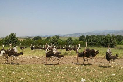Best Ostrich Farms are Found in Greece