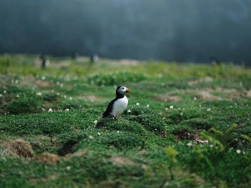 Skomer Island, Wales, UK
